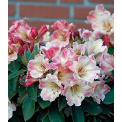 BCM Hecken Rhododendron Gerstenkorn