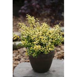 BCM Hecken Stechpalme Golden Gem, Höhe: 20-25 cm, 3 Pflanzen