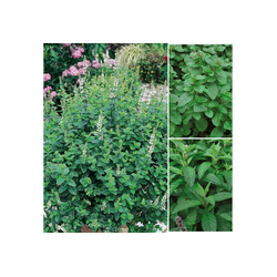 BCM Gewürzkraut Tea-Time Mix Kräuter, Höhe: 25 cm, 3 Pflanzen