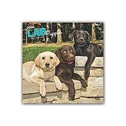 Lab Puppies - Labradorwelpen 2020
