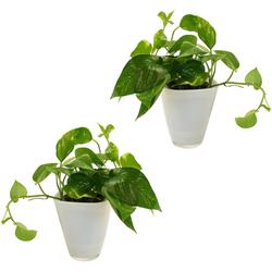 Dominik Zimmerpflanze Efeututen, Höhe: 30 cm, 2 Pflanzen in Dekotöpfen