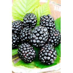 BCM Obstpflanze Brombeere Triple Crown, Höhe: 30-40 cm, 2 Pflanzen