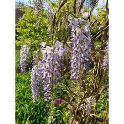 BCM Kletterpflanze Blauregen 'Longwood Purple', Lieferhöhe: ca. 60 cm, 1 Pflanze