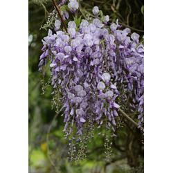 BCM Kletterpflanze Blauregen Spar-Set, Lieferhöhe: ca. 60 cm, 2 Pflanzen