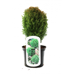 Kugelthuja Teddy 15-20 cm 2 l Container