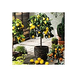 Zitronenbaum (Größe: 20 cm-Topf)