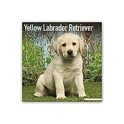 Yellow Labrador Retriever Puppies - Weiße Labradorwelpen 2021