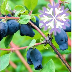 BCM Kletterpflanze Honigbeere kamtschatica 'Sibirian Blue' Spar-Set, Lieferhöhe ca. 60 cm, 2 Pflanzen