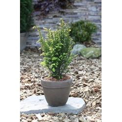 BCM Hecken Eibe Taxus baccata, Höhe: 20-25 cm, 3 Pflanzen