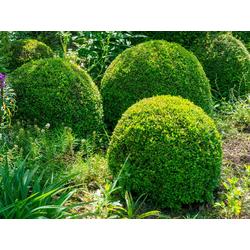 BCM Gehölze Buchsbaum Kugel, Höhe: 50 cm, 1 Pflanze
