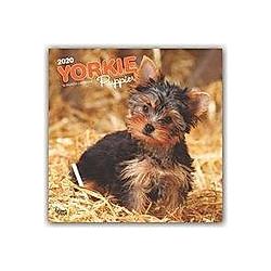 Yorkshire Terrier Puppies - Yorkshire Terrier Welpen 2020