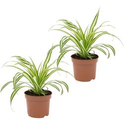 Dominik Zimmerpflanze Grünlilien, Höhe: 15 cm, 2 Pflanzen