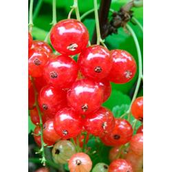 BCM Obstpflanze Säulenobst Rote Johannisbeere Traubenwunder, Höhe: 50 cm, 2 Pflanzen