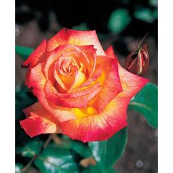 BCM Beetpflanze Rose Rumba