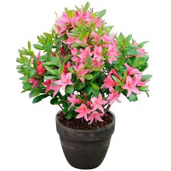 BCM Hecken Rhododendron Jolie Madame, Höhe: 15 cm, 3 Pflanzen