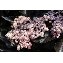 BCM Obstpflanze Säulenobst Holunder, dunkelrot, 40 cm Lieferhöhe