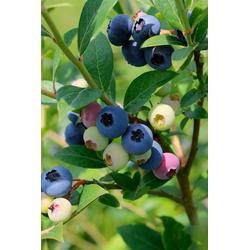 BCM Obstpflanze Heidelbeere Nelson, Höhe: 30-40 cm, 2 Pflanzen