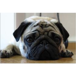 Fußmatte Fußmatte Mops frech Hund für Mopsfans 40x60 cm, matches21 HOME & HOBBY, rechteckig, Höhe 5 mm 60 cm x 40 cm x 5 mm
