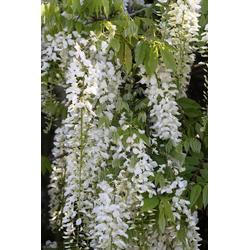BCM Kletterpflanze Blauregen weiß Spar-Set, Lieferhöhe: ca. 60 cm, 2 Pflanzen