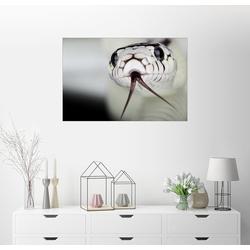 Posterlounge Wandbild, Schlangenkopf 100 cm x 70 cm
