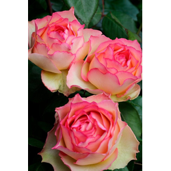 BCM Beetpflanze Rose Rosa 'Jalitah ®, Höhe 30 cm, 1 Pflanze