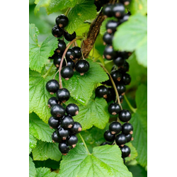 BCM Obstpflanze Säulenobst Schwarze Johannisbeere Ben Alder, Höhe: 50 cm, 2 Pflanzen