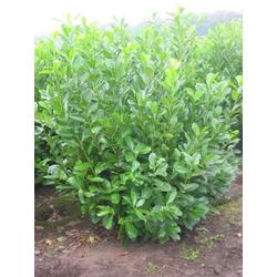 BCM Hecken Kirschlorbeer, 3 Pflanzen