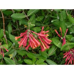BCM Kletterpflanze Geisblatt henryi Spar-Set, Lieferhöhe ca. 100 cm, 2 Pflanzen