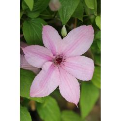 BCM Kletterpflanze Waldrebe 'Hagley Hybrid' Spar-Set, Lieferhöhe: ca. 60 cm, 3 Pflanzen