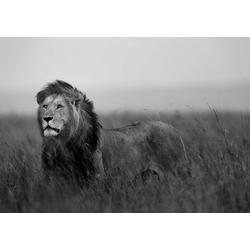 Fototapete Löwe, verschiedene Motivgrößen, für das Büro oder Wohnzimmer 2,08 m x 1,46 m
