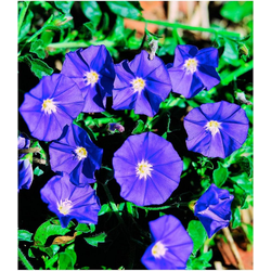 BCM Beetpflanze Blaue Mauritius