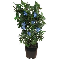 BCM Obstpflanze Heidelbeere Vaccinium corymbosum, 60 cm Lieferhöhe
