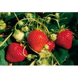 BCM Obstpflanze Erdbeere Mara des Bois
