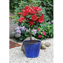 BCM Hecken Rhododendron Rhododendron-Stämmchen
