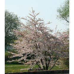 BCM Gehölze Essbare Blutpflaume Nigra, Höhe: 60 cm, 1 Pflanze