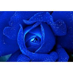 Consalnet Vliestapete Blaue Rose, floral 3,68 m x 2,54 m