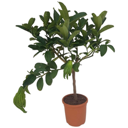 BCM Obstbaum Buddhas Hand, Höhe: 70 cm, 1 Pflanze