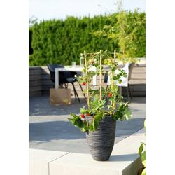 BCM Obstpflanze Fragaria Strawberry Spar-Set, Lieferhöhe ca. 40 cm, 1 Pflanze