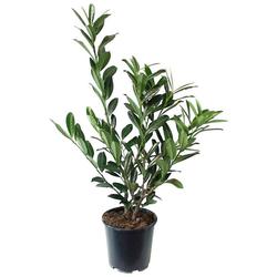 BCM Hecken Kirschlorbeer, 4 Pflanzen