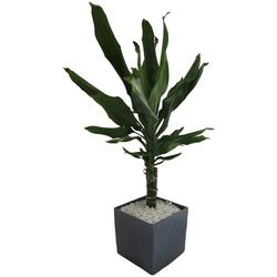Dominik Zimmerpflanze Drazene, Höhe: 30 cm, 1 Pflanze im Dekotopf