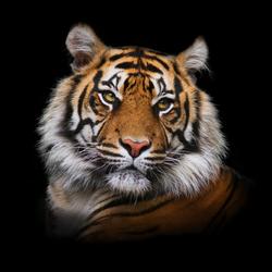 Glasbild TIGER II (BHT 80x80x1 cm) Pro-Art