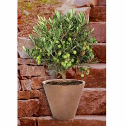 BCM Olivenbaum Olivenbaum, Ministamm