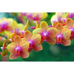 Papermoon Fototapete Golden Orchids, glatt 3 m x 2,23 m