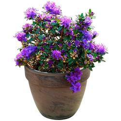 BCM Hecken Rhododendron Maggie, Höhe: 20 cm, 1 Pflanze
