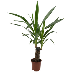 Dominik Zimmerpflanze Yucca-Palme, Höhe: 30 cm, 1 Pflanze