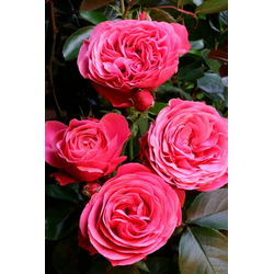 BCM Beetpflanze Rose Leonardo da Vinci®