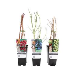 3 Beerenpflanzen