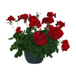Ampelpflanze - Tchibo - Anthrazit