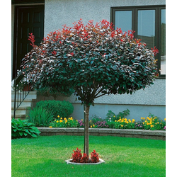 BCM Gehölze Zwerg-Blut-Pflaume, Höhe: 80 cm, 1 Pflanze