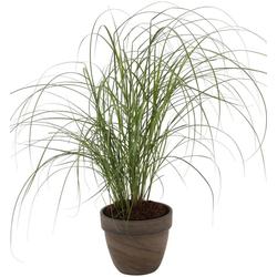 BCM Gräser Chinaschilf sinensis 'Kleine Silberspinne', Lieferhöhe ca. 60 cm, 1 Pflanze